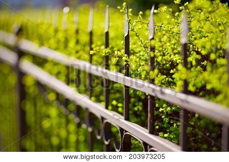 Metal fence and bush green hedge close