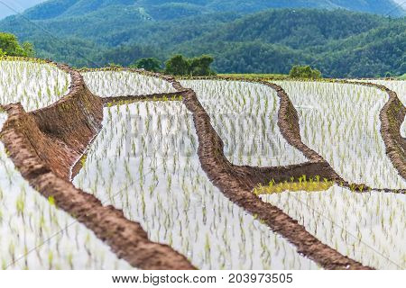 Rice terrace in a very bigining stage grows in different leyer with lots of moutains in the background at Pa Bong Piang near Inthanon National Park and Mae Chaem Chiangmai Thailand.