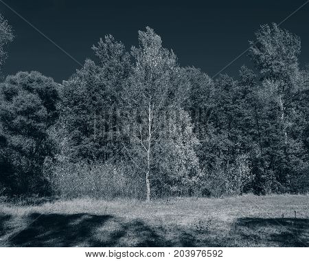 Autumn trees on a sunny day in a deciduous forest. Monochrome photo. Background for web page design.
