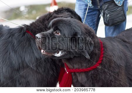 Newfoundland is a popular breed of big dogs close-up. Concept: friend, dobrata, power, love, loyalty, protection, care. Space under the text. 2018 year of the dog in the eastern calendar