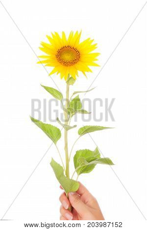 Hand giving yellow sunflower over white background.