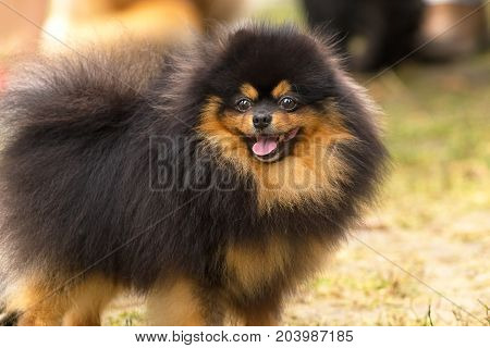 Dog Pomeranian Spitz of dark color looks into the camera with his mouth open. Space under the text. 2018 year of the dog in the eastern calendar Concept: parodist dogs, dog friend of man, true friends, rescuers.