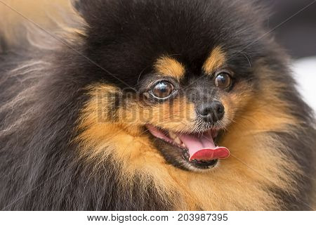 Pomeranian Spitz of dark color looks into the camera opening his mouth and shows the tongue, in focus dog's nose, humor, positive emotions. Space under the text. 2018 year of the dog in the eastern calendar Concept: parodist dogs, dog friend of man, true