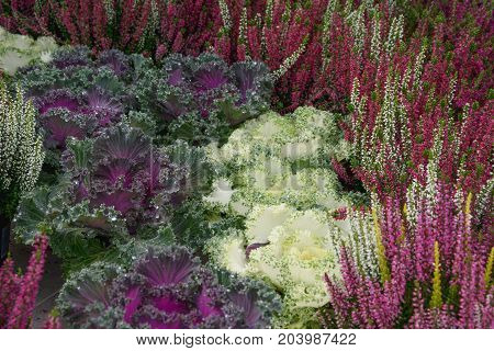 Ornamental cabbage amid multicolored flowering heather plant. Autumn in horticulture