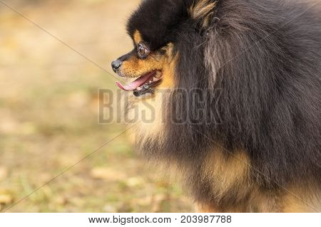 Pomeranian of dark color opened his mouth and shows language, humor, positive emotions. Space under the text. 2018 year of the dog in the eastern calendar Concept: parodist dogs, dog friend of man, true friends, rescuers.