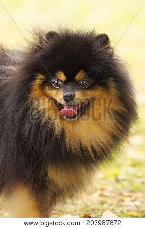 Dog Pomeranian Spitz of dark color looks into the camera opening his mouth and shows the tongue, in focus dog's nose, humor, positive emotions. Space under the text. 2018 year of the dog in the eastern calendar Concept: parodist dogs, dog friend of man, t