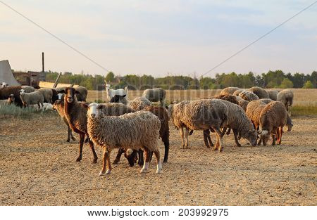 Flock of sheeps and goats on pasture. Sheep farming on meadow in the evening at sunset.