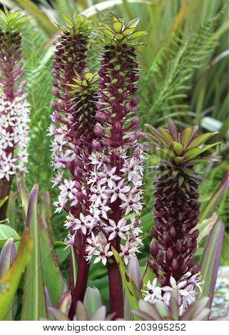The unusual pink flower spikes of the South African plant Eucomis comosa, also known as the Pineapple Flower or Pineapple Lily.