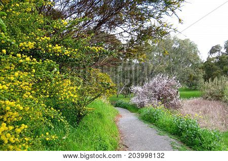 Australian park land path through native wattle shrubs