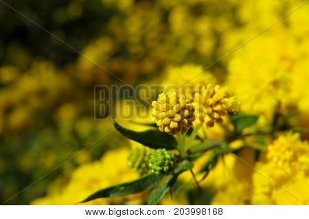 Native yellow wattle mimosa acacia blossom flower buds about to bloom in Australian bush