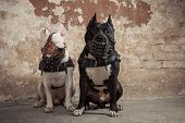Two thoroughbred dogs: black american pit bull and white bull terier in muzzles seatting over scraped wall background poster