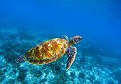 Sea turtle in deep blue seawater. Green sea turtle closeup. Tropical coral reef fauna. Tortoise underwater photo. Seashore ecosystem. Summer travel seaside activity. Snorkeling with sea turtle poster