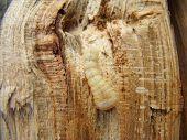 beetle grub bark beetle close up feeding on a tree poster