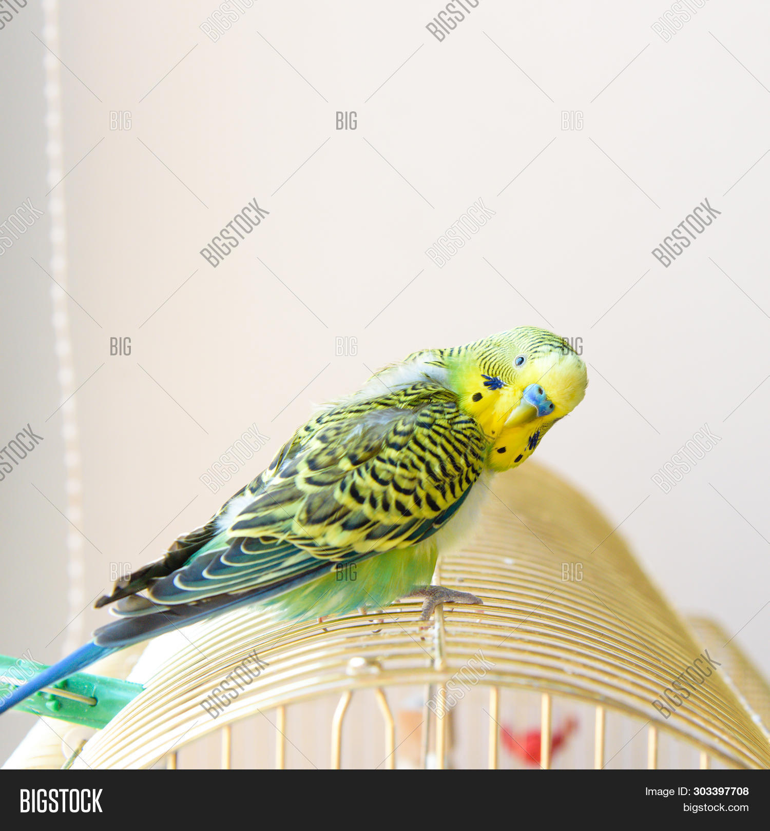 Domestic Budgie Parrot Image & Photo (Free Trial) | Bigstock