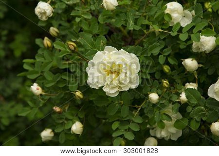 Blooming Bush Of White Rose Buds And Flowers