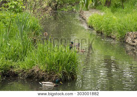 Summer Landscape, Park, Grey Ducks On The Pond
