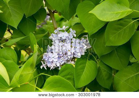 Branch Of Large Purple Flowers Lilac Among Green Leaves