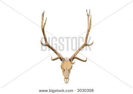 Elk Skull Isolated