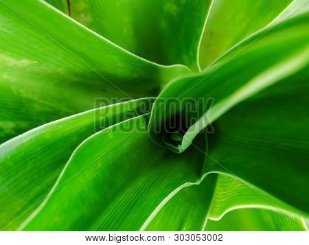 Green Leaf Petals Of Crinum Asiaticum On Top Camera Beautiful So Much