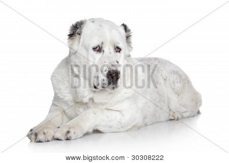 Central Asian Shepherd Dog on a white background poster