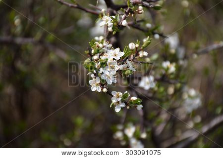 White Small Flowers On A Blossom Blackthorn Shrub