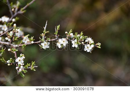 Twig With Small White Blackthorn Flowers By A Blurred Background