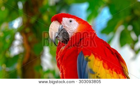 Colorful Portrait Of Amazon Red Macaw Parrot. Side View Of Wild Ara Parrot Head On Dark Blue Backgro