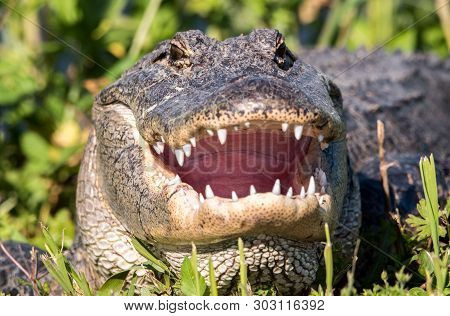 An Alligator With Mouth Open To Cool Off.