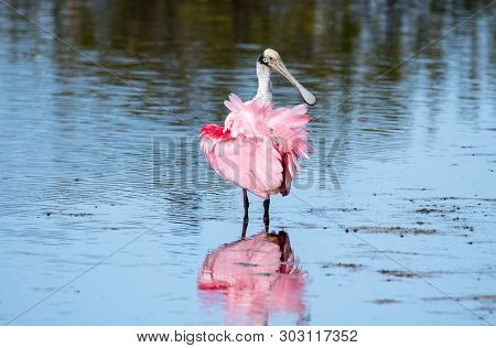 A Roseate Spoonbill Wading Through Sahllow Water.