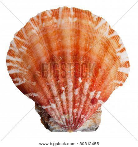 The Shell Clam Ocean