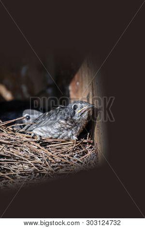 Baby Nestling Eastern Bluebird Sialia Sialis Hatchlings
