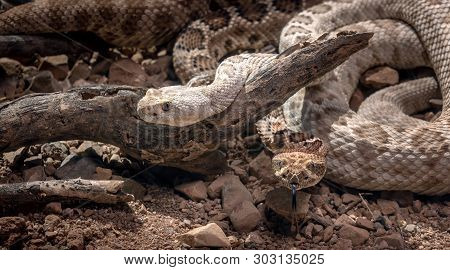 Santa Catalina Island Rattlesnakes in desert Crotalus catalinensis poster