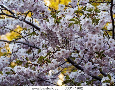 Cherry Blossom Tree Image Photo Free Trial Bigstock