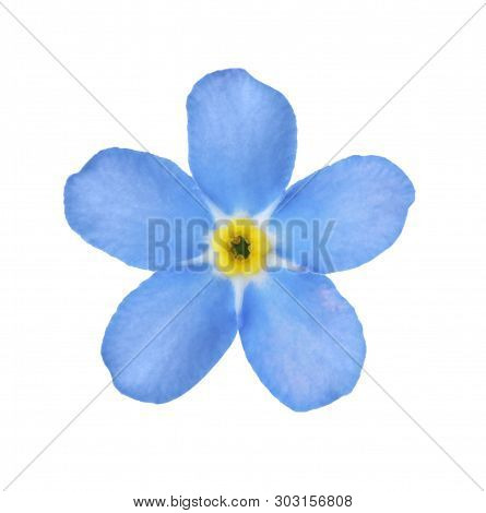 Amazing Spring Forget-me-not Flower On White Background