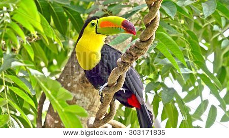 Toucan Sitting On The Branch In The Forest, Green Vegetation, Costa Rica. Nature Travel In Central A