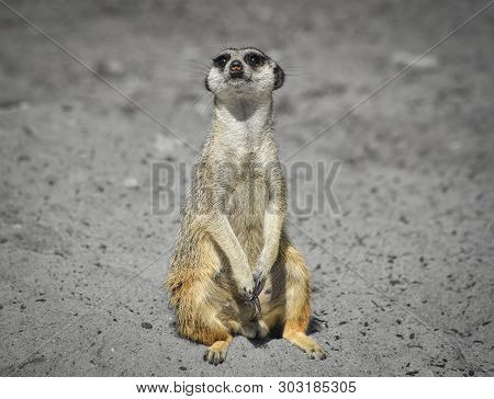 Very Funny Meerkat Manor Sits In A Clearing At The Zoo And Blurry Bokeh. Meerkat Or Suricate Looking