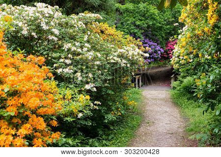 Colourful Rhododendrons In The Rhododendron Wood Near Leith Hill Place In Surrey, Uk Line A Footpath