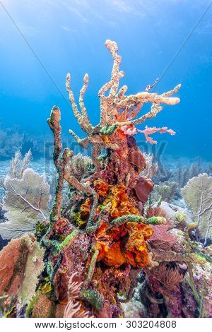 Coral Garden In Caribbean Off The Coast Of The Island Of Roatan