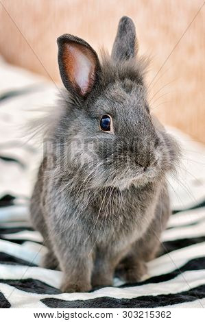 Gray bunny fluffy rabbit baby sitting on carpet. Portrait of cute domestic tiny bunny rabbit cub at home closeup. Sweet grey little bunny animal inside in house. Cute small fur angora rabbit baby pet