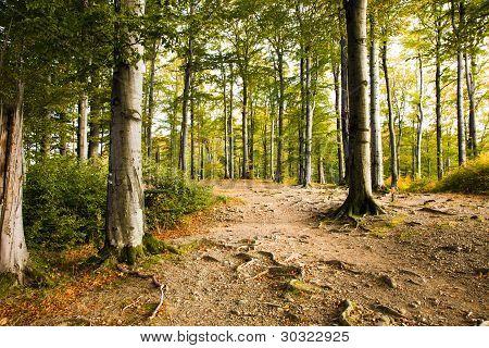 Autumn wood (beechen)