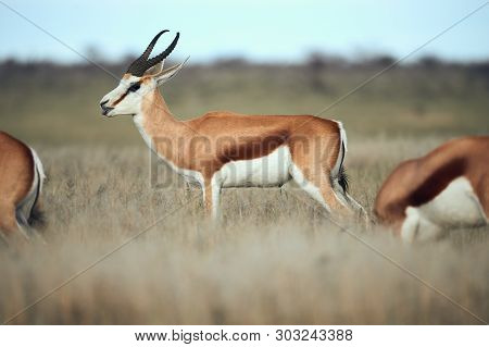 In Namibia A Beautiful Male Springbok, Antidorcas Marsupialis, An African Antelope Grazing Free In T