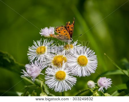 A Japanese Copper Butterfly, Lycaena Phlaeas Daimio, Feeds From White Dasies.