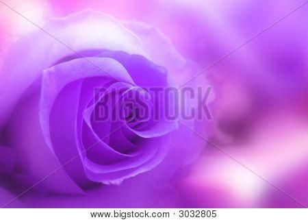 Rose In Magenta