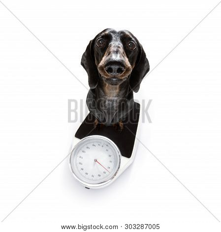 Sausage Dog With Guilty Conscience  For Overweight, And To Loose Weight , Standing On A  Personal Sc