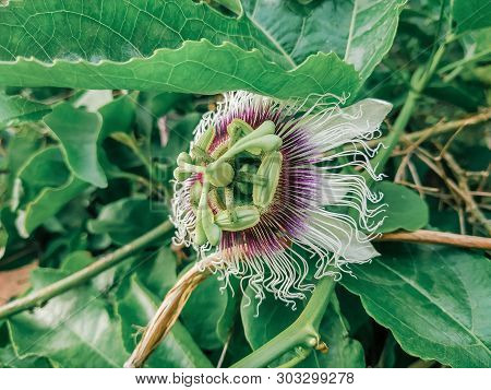 Passiflora Edulis Blooming Purple Flower. Vine Tropical And Subtropical Sweet Seedy Passion Fruit. F