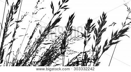 Silhouette Of Grass - Black Shape Isolated On A White