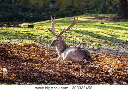 The Fallow Deer, Dama Dama Is A Ruminant Mammal Belonging To The Family Cervidae.