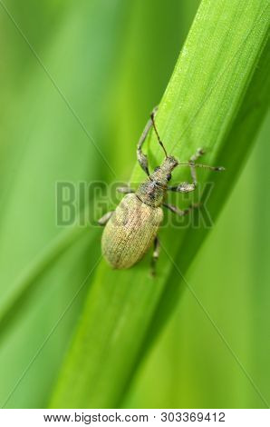 A Small Beetle Sits On A Leaf Of The Plant.it Is The Macrocosm Of Nature.in Latin The Name Of The Be