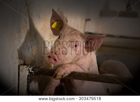 Portrait Of Young Curious Pig Standing On Metal Fence In Pigpen