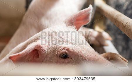 Close Up Of Eye Of Cute Piglet Beside Fence In Pigpen